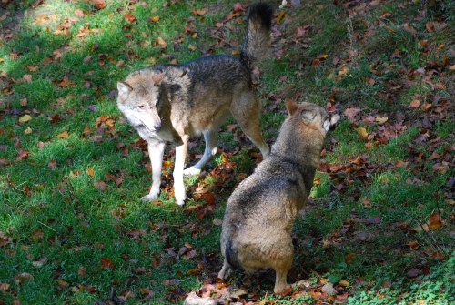 Fütterung der Wölfe